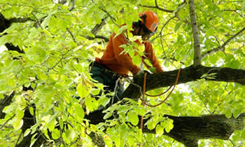 Tree Trimming in Louisville KY Tree Trimming Services in Louisville KY Tree Trimming Professionals in Louisville KY Tree Services in Louisville KY Tree Trimming Estimates in Louisville KY Tree Trimming Quotes in Louisville KY